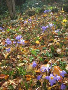 Herbstkrokus 'Artabir'
