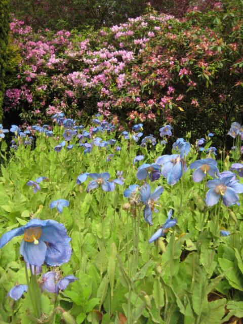 Meconopsis grandis, blauer Scheinmohn