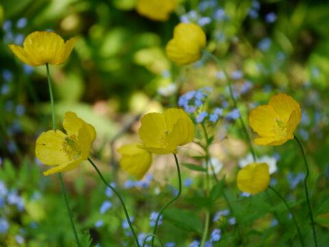 Meconopsis cambrica, gelber Scheinmohn