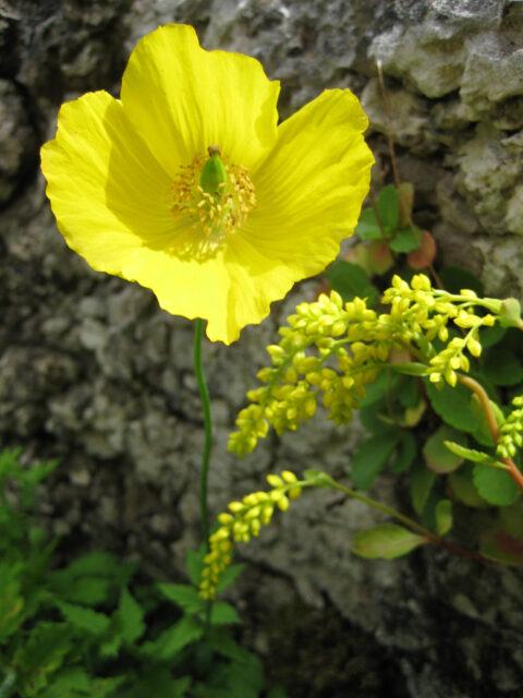 Meconopsis cambrica, der gelbe Scheinmohn
