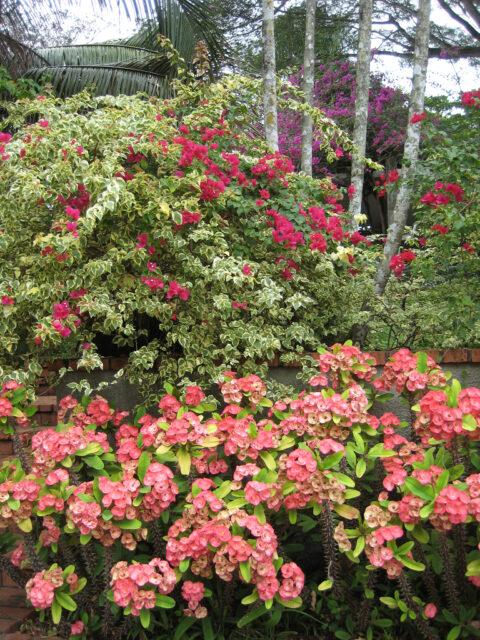 Bougainvillea und Euphorbia milii, Christusdorn, im Eingangsbereich des Botanischen Gartens von Santo Domingo