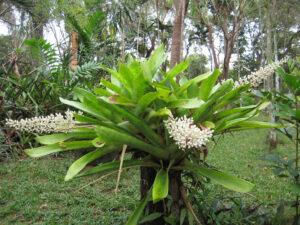 Aechmea mexicana im Bromeliengarten des Botanischen Gartens von Santo Domingo