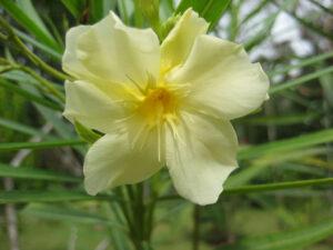 Nerium oleander, vanillegelbe Oleanderblüte im Botanischen Garten von Santo Domingo