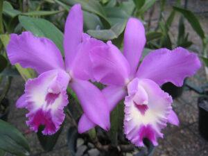 SCL. Mehrfach-Orchideen-Hybride im Orchideen-Garten des Botanischen Gartens von Santo Domingo