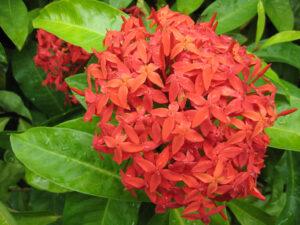 Ixora coccinea, Japanischer Garten, Botanischer Garten Santo Domingo