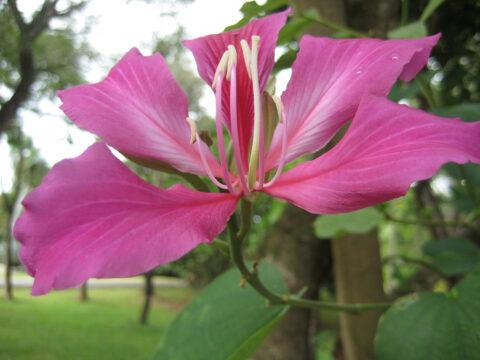 Bauhinia blakeana, Orchideenbaum, Botanischer Garten Santo Domingo