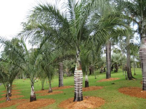 Palmenhain des Botanischen Gartens Santo Domingo
