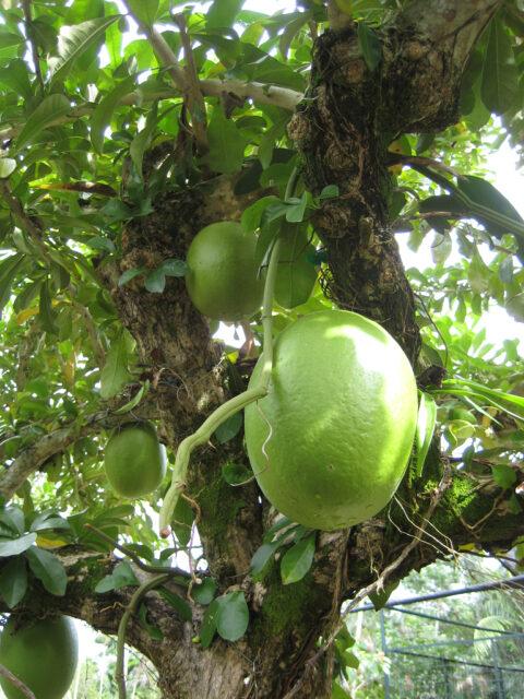 Crescentia alata im Nutzpflanzen-Bereich des Botanischen Gartens von Santo Domingo