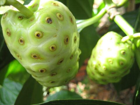 Morinda citrifolia, Nonibaum, Nutzpflanzenbereich Botanischer Garten Santo Domingo