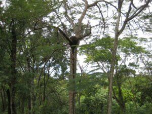 Termiten-Bau im Zwergen-Urwald mitten in Santo Domingo