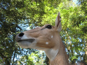Impala im Zoo von Santo Domingo