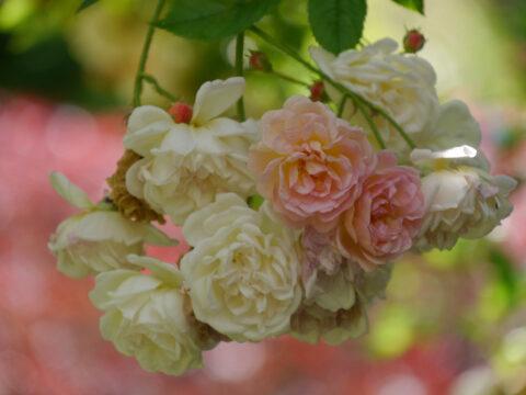 Rose 'Ghislaine de Féligonde' in Wurzerls Garten