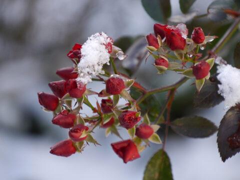 Rose 'Fairy Bouquet',die Knospenrose in Wurzerls Garten