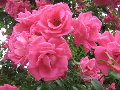Rose'Morning Jewel' in Wurzerls Garten