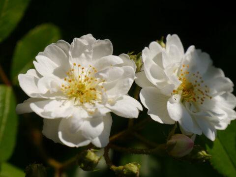 Rambler-Rose 'Guirlande d'Amour' in Wurzerls Garten