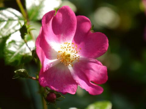 Rosa 'Rosenreigen' in Wurzerls Garten