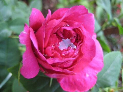 Rose 'The Dark Lady'