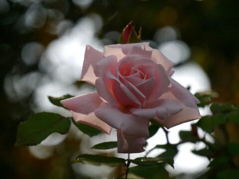 Rosa 'New Dawn' in Wurzerls Garten