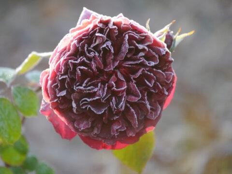 Die englische Rose 'Munstead Wood' in Wurzerls Garten