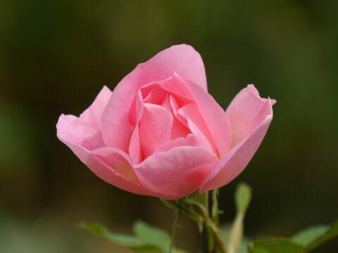 Rose 'The Lady's Blush' in Wurzerls Garten