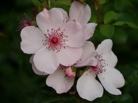 Rosa 'Sweet Pretty' in Wurzerls Garten
