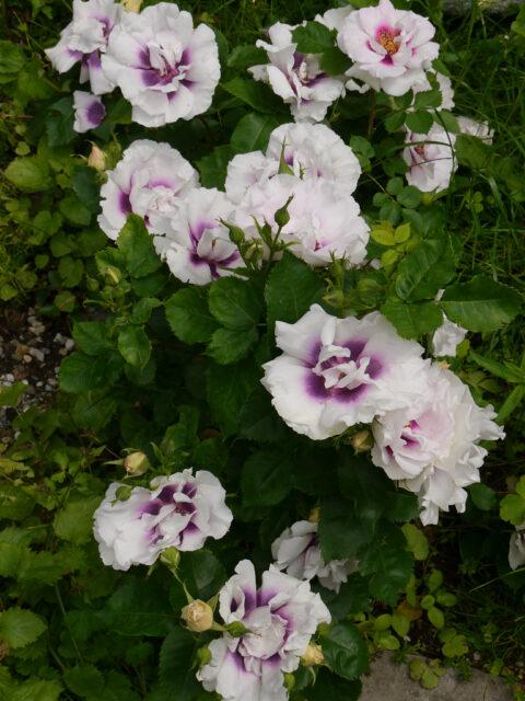 Rosa 'Eyes For You' in Wurzerls Garten