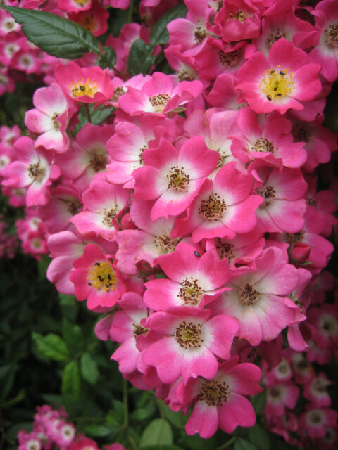 Rosa 'Mozart' in Wurzerls Garten