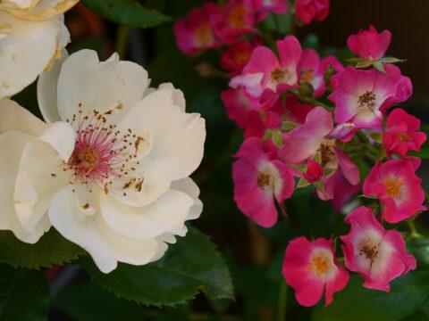 Rosa 'Jacqueline Du Pré' mit Rosa 'Mozart' in Wurzerls Garten