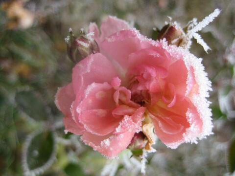 Rosa 'The Fairy' im Winter