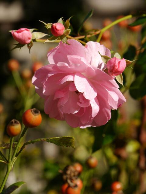 Rosa 'Bonica 82' in Wurzerls Garten