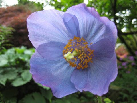 Meconopsis, das blaue Wunder