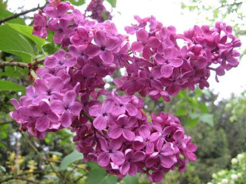 Syringa vulgaris, Flieder in Wurzerls Garten