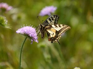 Schwalbenschwanz in Wurzerls Garten
