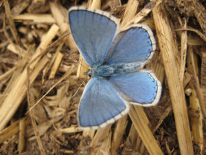 Himmelblauer Bläuling in Wurzerls Garten