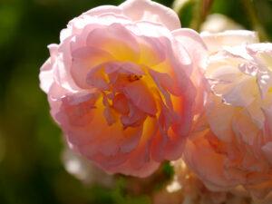 Rosa 'Compassion' Wurzerls Garten