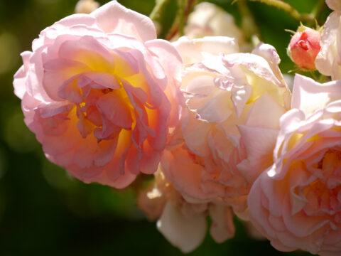 Rosa 'Compassion' in Wurzerls Garten