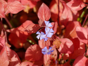 Chinesische Bleiwurz (Ceratostigma plumbaginoides),mit Herbstfärbung