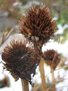 Samenstand Echinacea