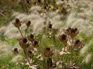 Eryngium und Gräser, Samenstände
