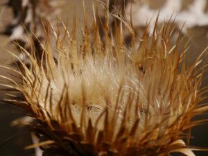 Samenstand Silybum marianum, Mariendistel Wurzerls Garten