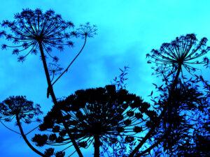 Engelswurz, Angelica, Wurzerls Garten