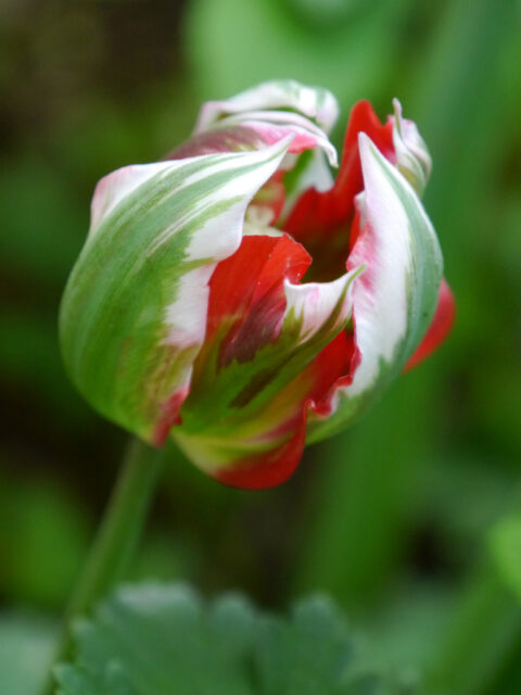 frühe Tulpe in Wurzerls Garten