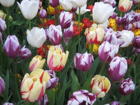 Tulpenfreude nur für ein Jahr?