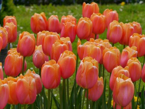 Tulpen-Blüte nur für ein Jahr?