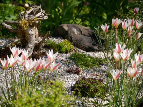 Tulipa clusiana 'Lady Jane' im Steingarten von Wurzerls Garten