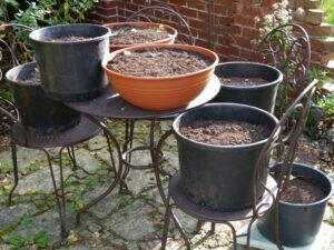 frisch gesetzte Tulpen- und Muskari-Zwiebeln in Wurzerls Garten