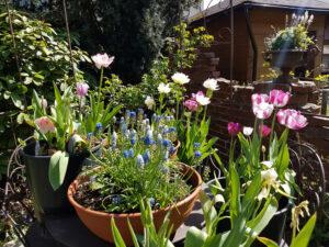 Tulpen-Restblüte im Mai in Wurzerls Topfgarten