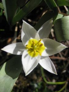 Tulipa biflora, die zweiblütige Tulpe, Steingarten, Wurzerls Garten