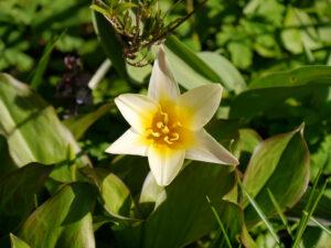Tulipa kaufmanniana 'Johann Strauss' in Wurzerls Garten