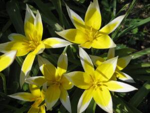 Tulipa tarda in Wurzerls Garten